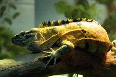 Free Lizard Body Stock Photos - 19500853