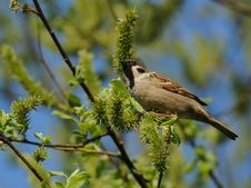 Free Sparrow Stock Image - 19500901