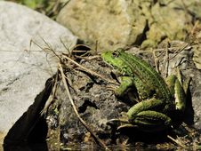 Free Edible Frog On A Stone Stock Photos - 19501133