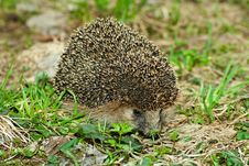 Free Hedgehog Stock Image - 19501161
