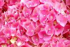 Free Pink Flowers Royalty Free Stock Photo - 19501655