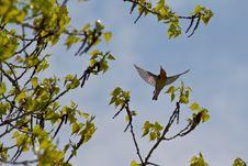 Free Blackburnian Warbler Flight Royalty Free Stock Photos - 19501728