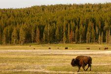 Free Buffalos In Yellowstone Royalty Free Stock Photography - 19504957