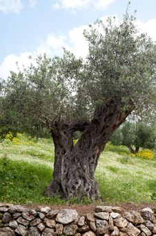 Free Olive Tree Royalty Free Stock Photography - 19509687