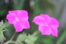 Free Pink Flower Flowering Plant Vulnerability Freshness, Green Background Photo. Royalty Free Stock Photography - 195081237