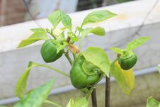 Free Green Capsicum Tree Veg. , Tub Planting Vulnerability Freshness Photo. Royalty Free Stock Images - 195082469