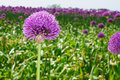 Free Purple Onion Flower Stock Photo - 19516680