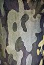 Free Maple Tree Bark Stock Images - 19517344