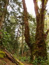 Free Old Growth Forest. Royalty Free Stock Images - 19518149