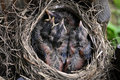 Free Baby Birds At One Week Old Stock Photography - 19519552