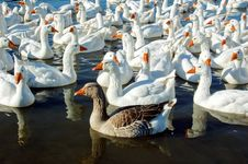 Swimming White Geese Royalty Free Stock Photo