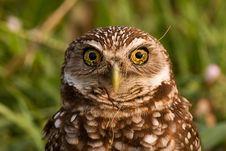 Free Burrowing Owl Royalty Free Stock Photo - 19510795