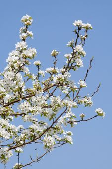 Free Branch Of A Blossoming Apple-tree Stock Photos - 19511133