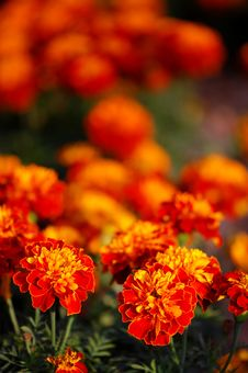 Free Flowers In Autumn Royalty Free Stock Photos - 19511898