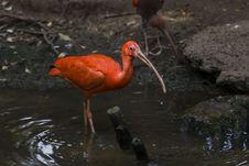 Free Scarlet Ibis Stock Photo - 19512620