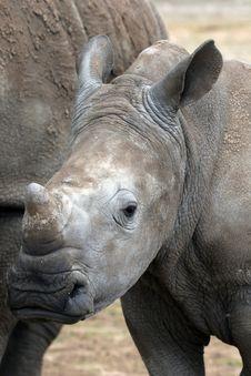 Free Young White Rhino Stock Image - 19512651