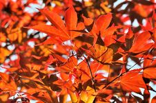 Free Foliage Of A Japanese Maple Stock Photography - 19515862