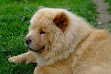 Free Portrait Of Dog Chow-chow Stock Photo - 19515980