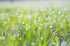 Free Drops Of Dew On The Grass Royalty Free Stock Photography - 19516597