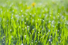 Free Drops Of Dew On The Grass Royalty Free Stock Photography - 19516667