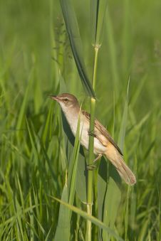 Free Great Reed Warbler  / Acrocephalus Arun Royalty Free Stock Image - 19516956