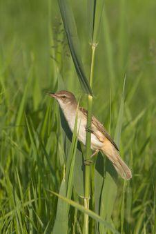 Great Reed Warbler  / Acrocephalus Arun Royalty Free Stock Image