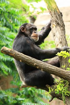 Free Chimp On Tree Stock Photos - 19518633