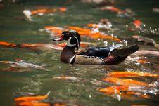 Free Mandarin Duck Royalty Free Stock Photography - 19518677