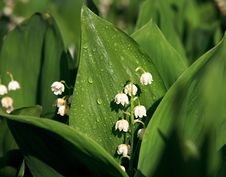 Convallaria Majalis Stock Photos