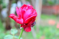 Free Plant Color Fresh Rose Flower, Green Garden Background Photo. Royalty Free Stock Images - 195154699