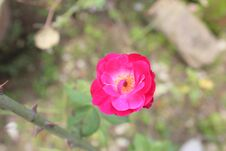 Rose Plant Color Fresh Rose Flower, Green Garden Background Photo. Royalty Free Stock Images