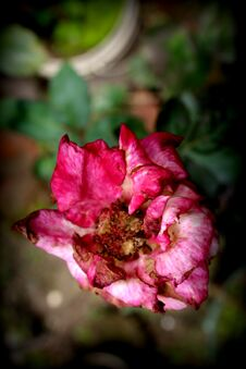 Rose Plant Color Fresh Rose Flower Photo. Stock Images
