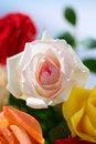 Free Pink Rose Closeup Royalty Free Stock Image - 19523806