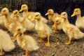 Free Group Of Little Ducklings Stock Photo - 19524140