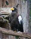 Free Eagle Royalty Free Stock Photos - 19524178