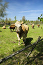 Free Cow Calf Outdor Portrait Stock Photos - 19525073