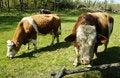 Free Swedish Cows Stock Photography - 19525132