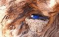 Free Wire-tailed Swallow (Hirundo Smithii) Stock Photos - 19525443