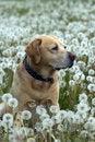 Free Labrador Retriever Stock Photography - 19529672