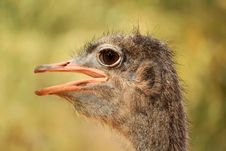Free Ostrich Royalty Free Stock Photography - 19520227