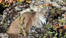 Free Canadian Lynx Royalty Free Stock Image - 19521136