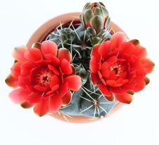 Free Blooming Cactus Plant Royalty Free Stock Photo - 19522695