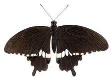 Papilio Polytes &x28;male&x29; Royalty Free Stock Photos