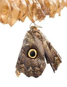 Free Owl Butterfly Royalty Free Stock Image - 19523046