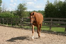 Free Beautiful Chestnut Mare Trotting Stock Photos - 19523483