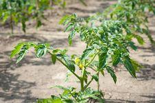 Free Tomato Seedling Stock Photo - 19524390