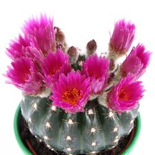 Free Cactus Plant Blooming Stock Image - 19524631