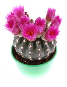 Free Cactus Plant Blooming Royalty Free Stock Photo - 19524645