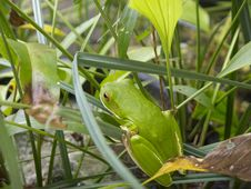 Free Port Douglas Green Tree Frog On A Leaf Royalty Free Stock Photo - 19524995