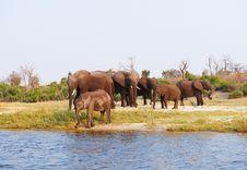 Large Herd Of African Elephants Stock Image